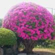 きれいに咲きました(●^o^●)