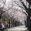 あざみ野 桜通り