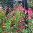 秋明菊の華やかさ他庭の住人