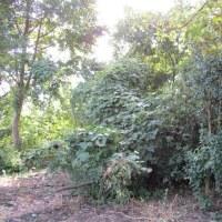 耕作放棄地をバラ園に伐採再開
