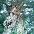 大江院と高見のシイの木
