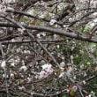 冷え込み厳しく…冬桜ピーク