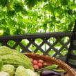 今朝の家庭菜園からの収穫は