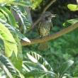 若いヒヨドリと枇杷の葉