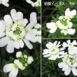 宿恨イベリス・タホの花は
