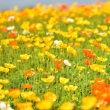 春の花の季節part7  風に揺れるポピーの後ろ姿