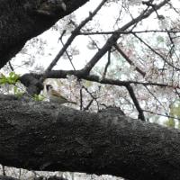 桜に舞う雀たち