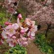 早咲桜は山の上?