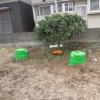2/15(水)畑の橙、剪定しました~