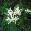 白も咲きました。 シロバナマンジュシャゲ
