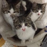 キジ白3兄妹 風邪の治療中