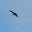 鷹の渡りを今年始めて挑戦・・・ハチクマ