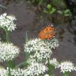 あまり見かけない蝶、クロアゲハです