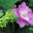 雨上がりの紫陽花 * 2 * .。.:*・゜