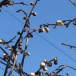 梅やっと咲いた^_^;