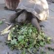 チビアルダゾウガメの晩秋の食欲