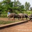 水牛と牛追い