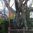 上津の姥桜 群馬県みなかみ町