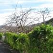 気の早い桜が今年も  ヒカンザクラ