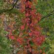 「ツタウルシの秋」 福島県 裏磐梯のレークラインにて撮影!