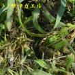 2017/08/19 芋谷のサネカズラ