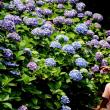 紫陽花ごころ