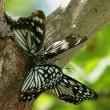 樹液蝶がいっぱい、外来種だけど