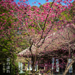 春の訪れ【杉本観音】寒緋桜が見頃です