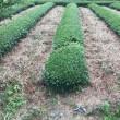 シグマクシスの茶畑、台刈り更新から2か月!
