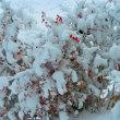 胡蝶蘭。。雪降ってます。。