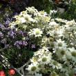 ハンカチの木の可愛い黄色い星の花、昨日の販売で人気だったフランネルフラワーとラベンダーの組み合わせ