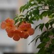小さな花壇に咲いていた花、ニワフジです