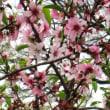 <アーモンド> 和名「扁桃」、モモに似た5弁花