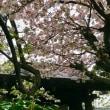 雨宝院、、、緑の桜