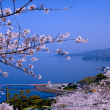 桜映える海