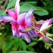 シュウメイギク -庭の花で名前に秋が付く花を選びました。