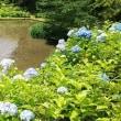 山中城跡の紫陽花と睡蓮 (静岡県三島市)睡蓮はまだこれから