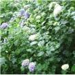紫 陽 花   (^_^) (*^_^*)