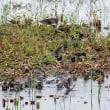 一期一会・・・鳥撮りの記  230 野鳥公園の水鳥たち