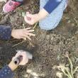 芋掘り第二段…孫たちと