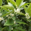 一晩で満開になった金柑の木、植物の生命力には脱帽。自分の生命力を信じてリハビリに励みましょう。