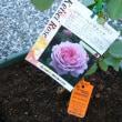 国バラショウで買ってきたバラを植え付ける