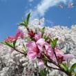 桃と花桃の花の饗宴!(山梨県北斗市)