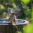 雀の水遊び①