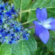 野積の紫陽花とランチ