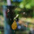 ジョウロウグモとツマグロオオヨコバイ(赤塚植物園)