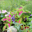真夏の笑顔アメリカフヨウが咲く