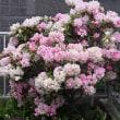 満開のシャクナゲの花