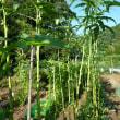 おばさんの料理教室No.2681 ジャンボオクラの種の収穫