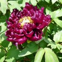 牡丹色っていうのは赤紫色?
